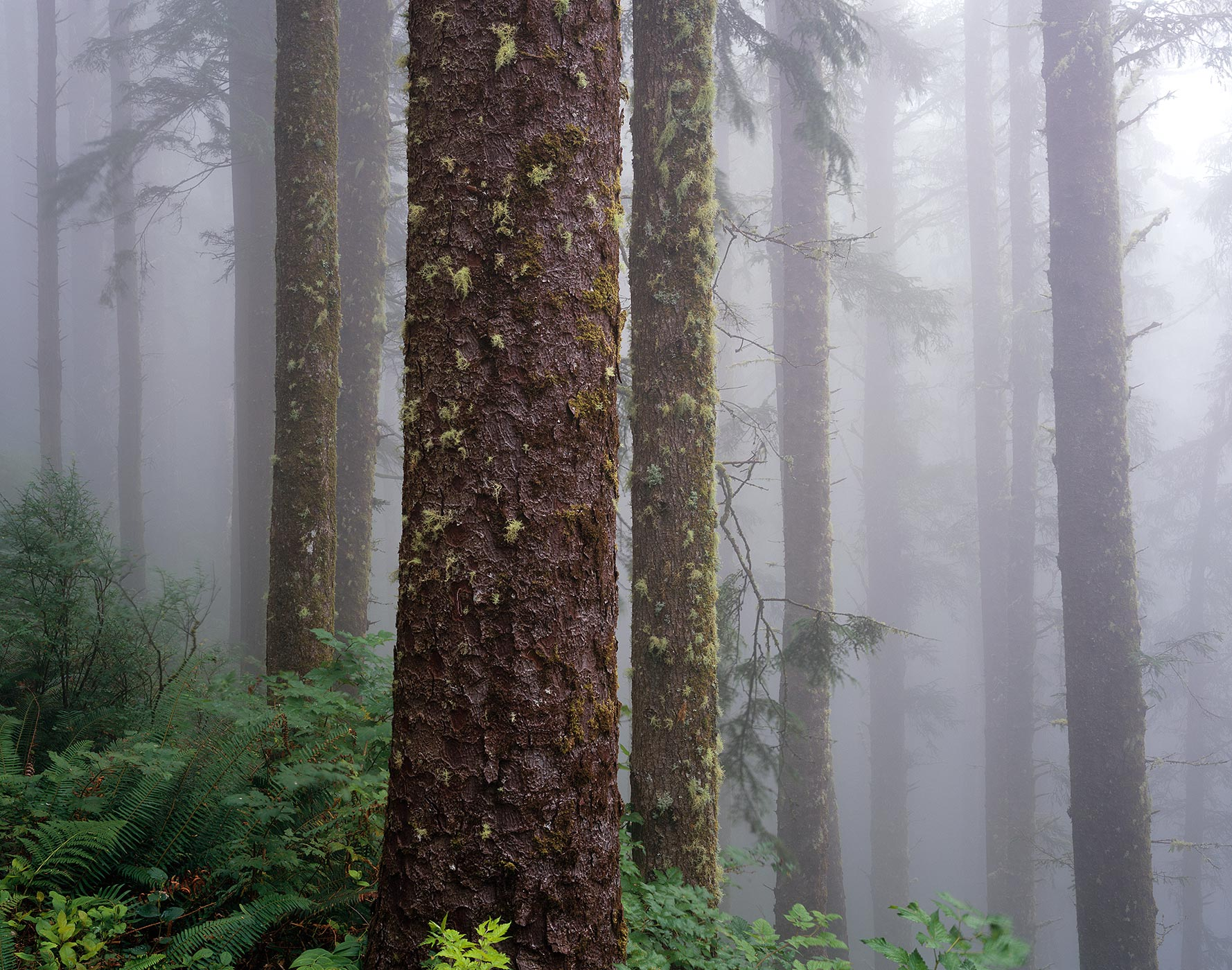 1008 Coastal Forest, Heavy Fog, Cape Lookout State Park, Oregon