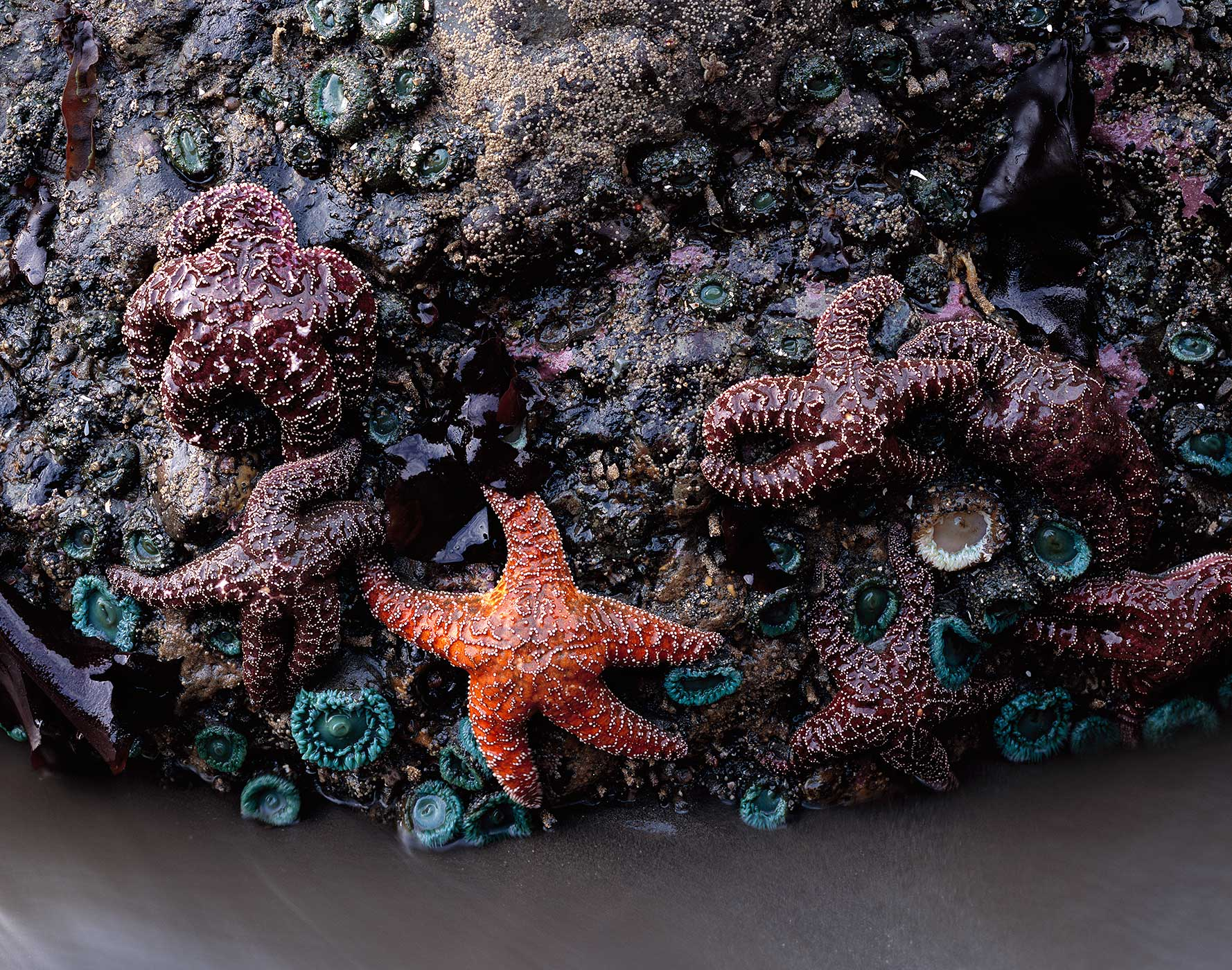 1028 Sea Stars & Anemones, Olympic National Park, Washington