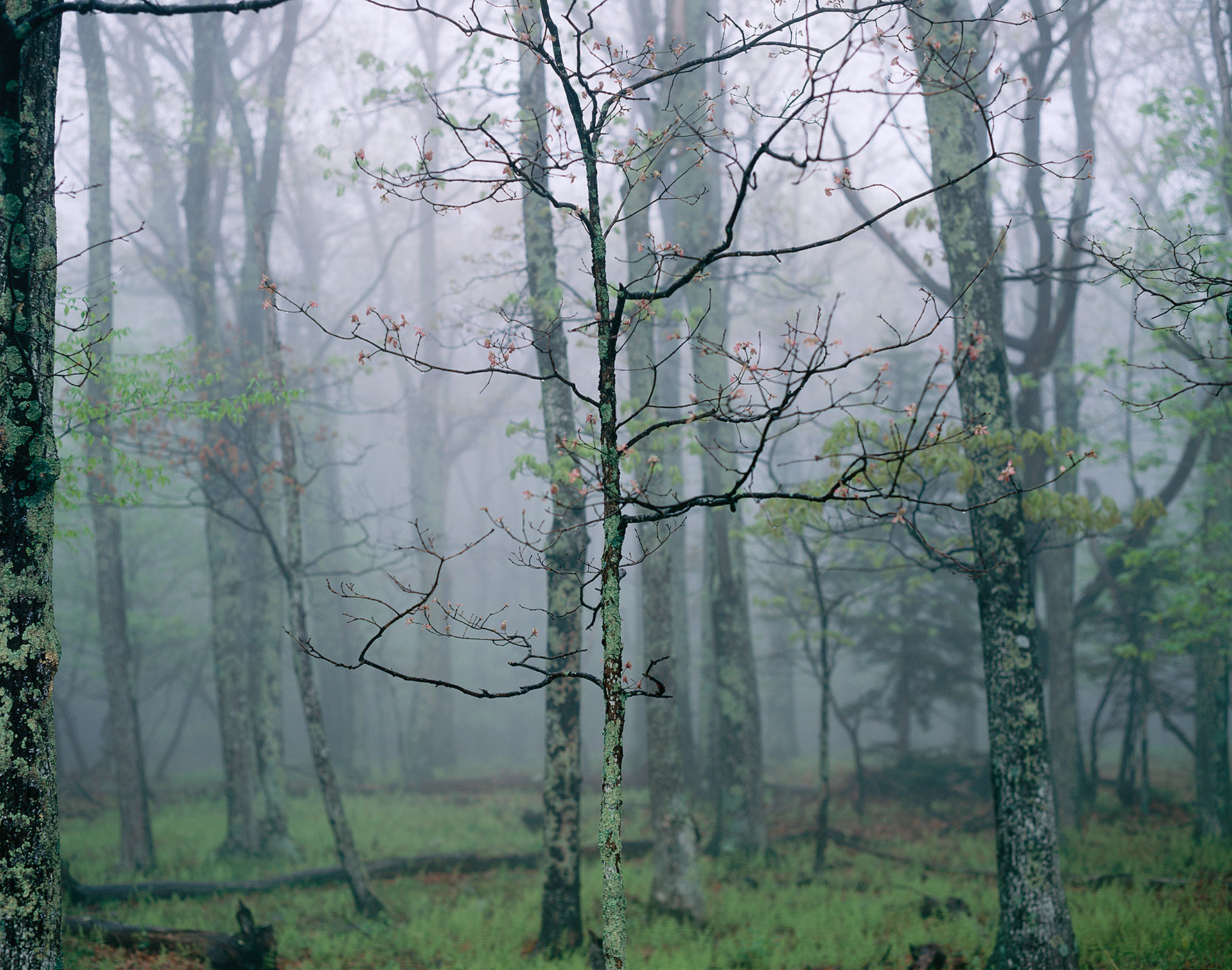 1350 Sapling in Fog, Shenandoah National Park, Virginia