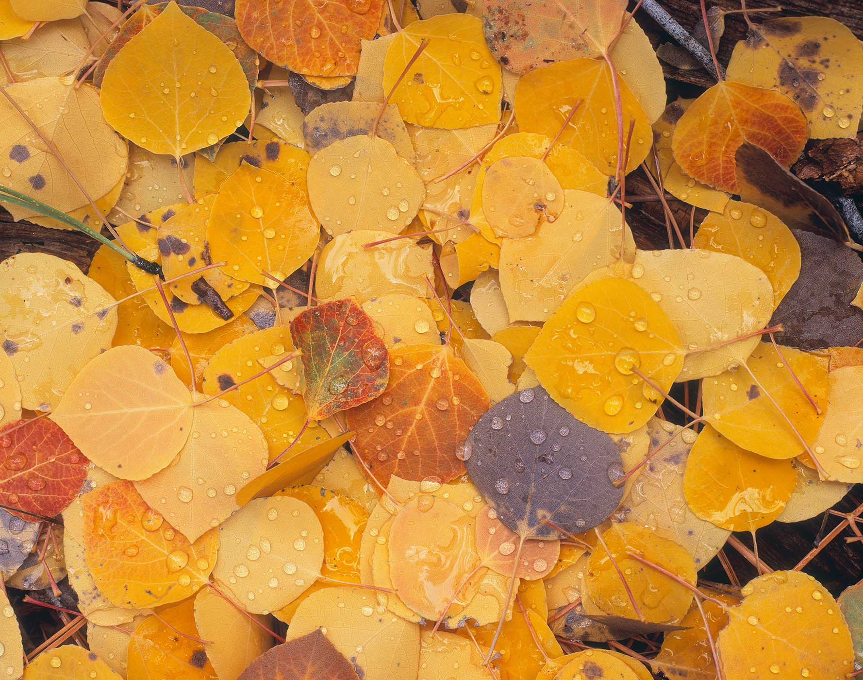 302 Aspen Leaves after Rain, Coconino National Forest, ArizonaAspens Leaves after the Rain Coconino National Forest, Arizona