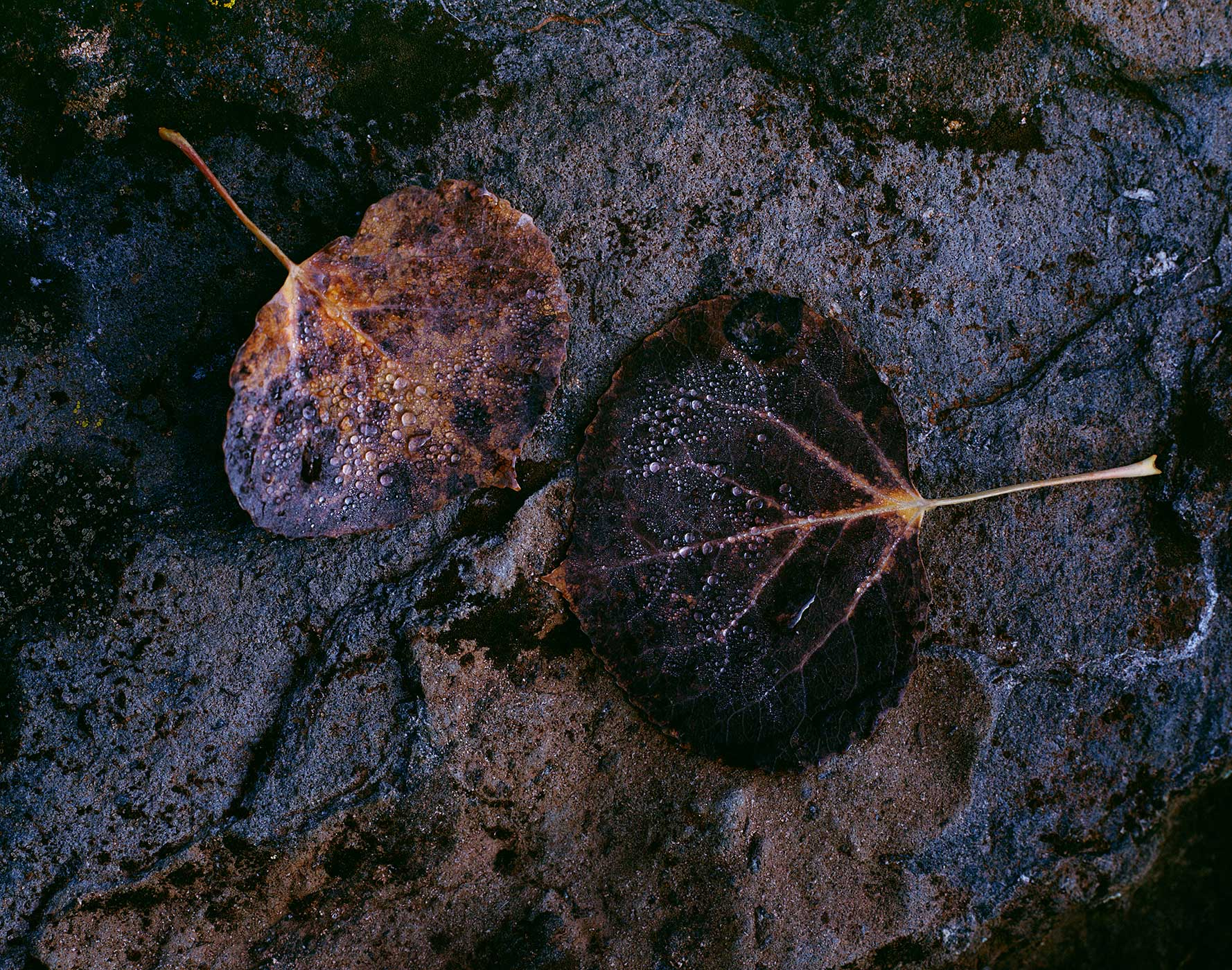 306 Two Aspen Leaves, Dew, Coconino National Forest, Arizona