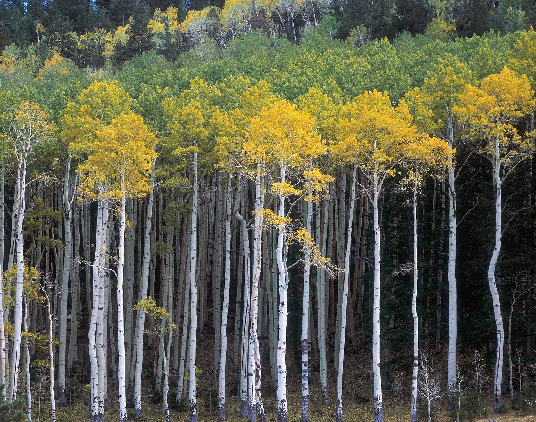 312 Turning Aspens, Coconino National Forest, Arizona