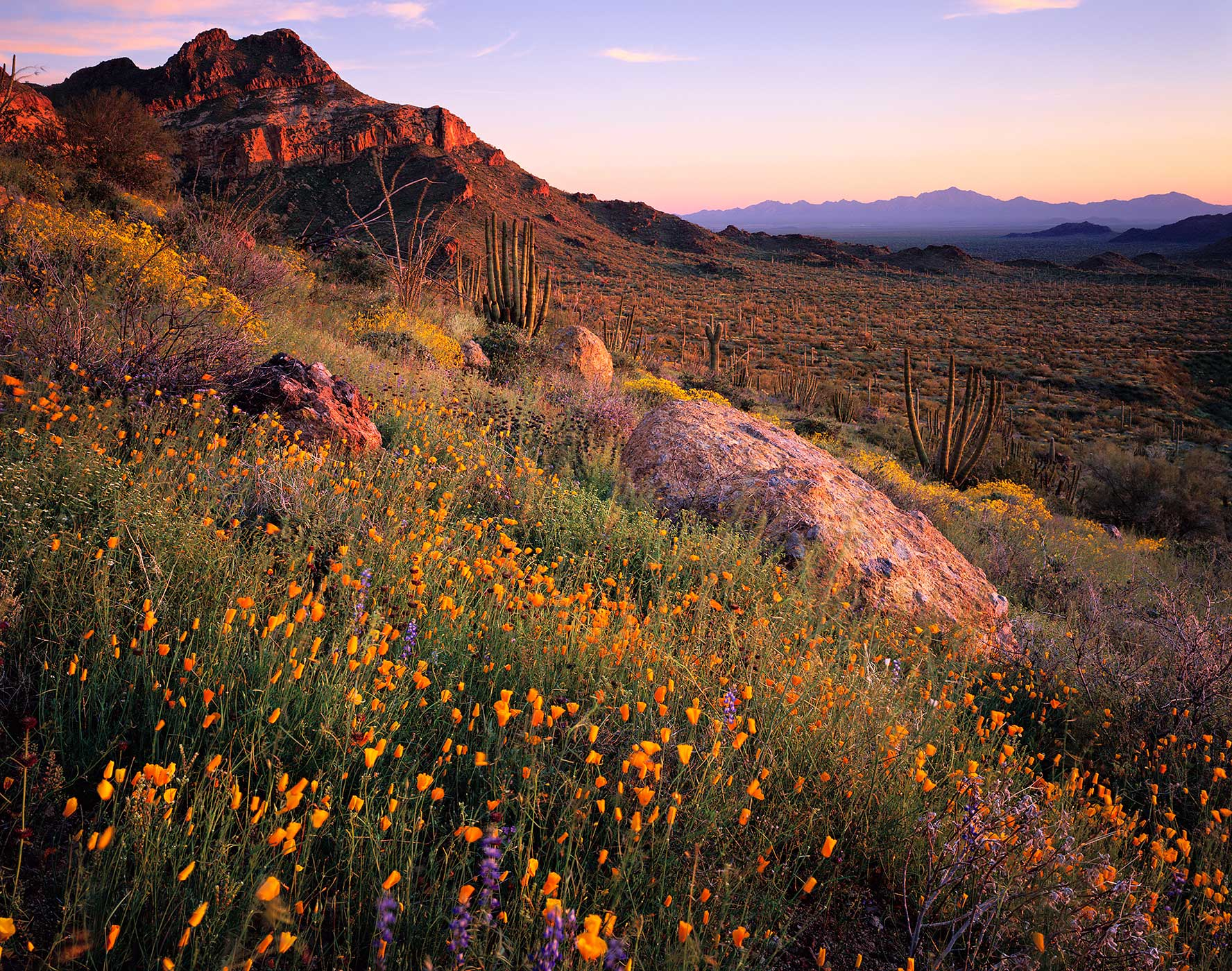 603 Desert in Bloom, Organ Pipe Cactus National Monument, Arizona
