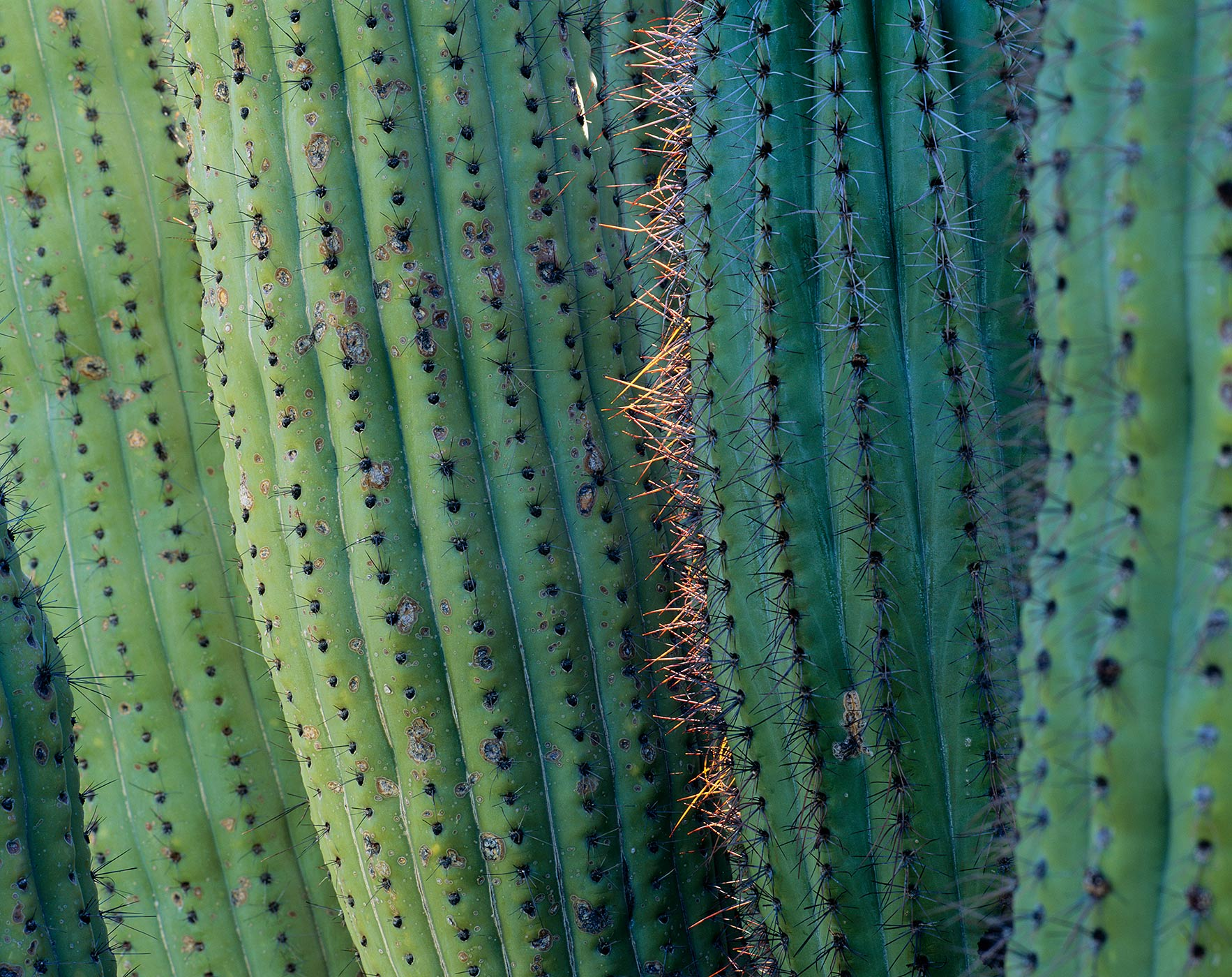 613 Cactus Detail, Organ Pipe Cactus National Monument, Arizona