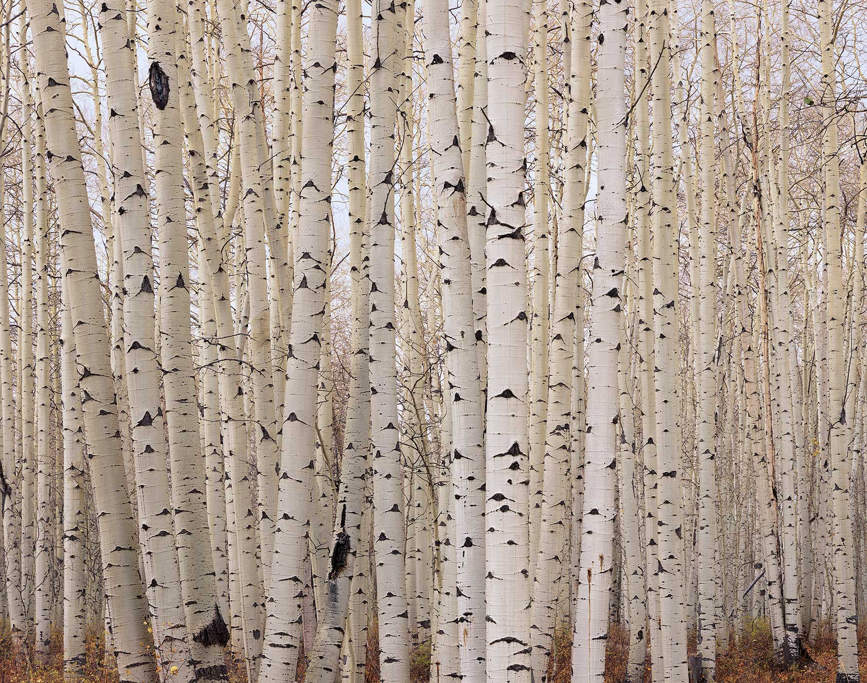 705 Aspens After the Fall, San Juan National Forest, Colorado