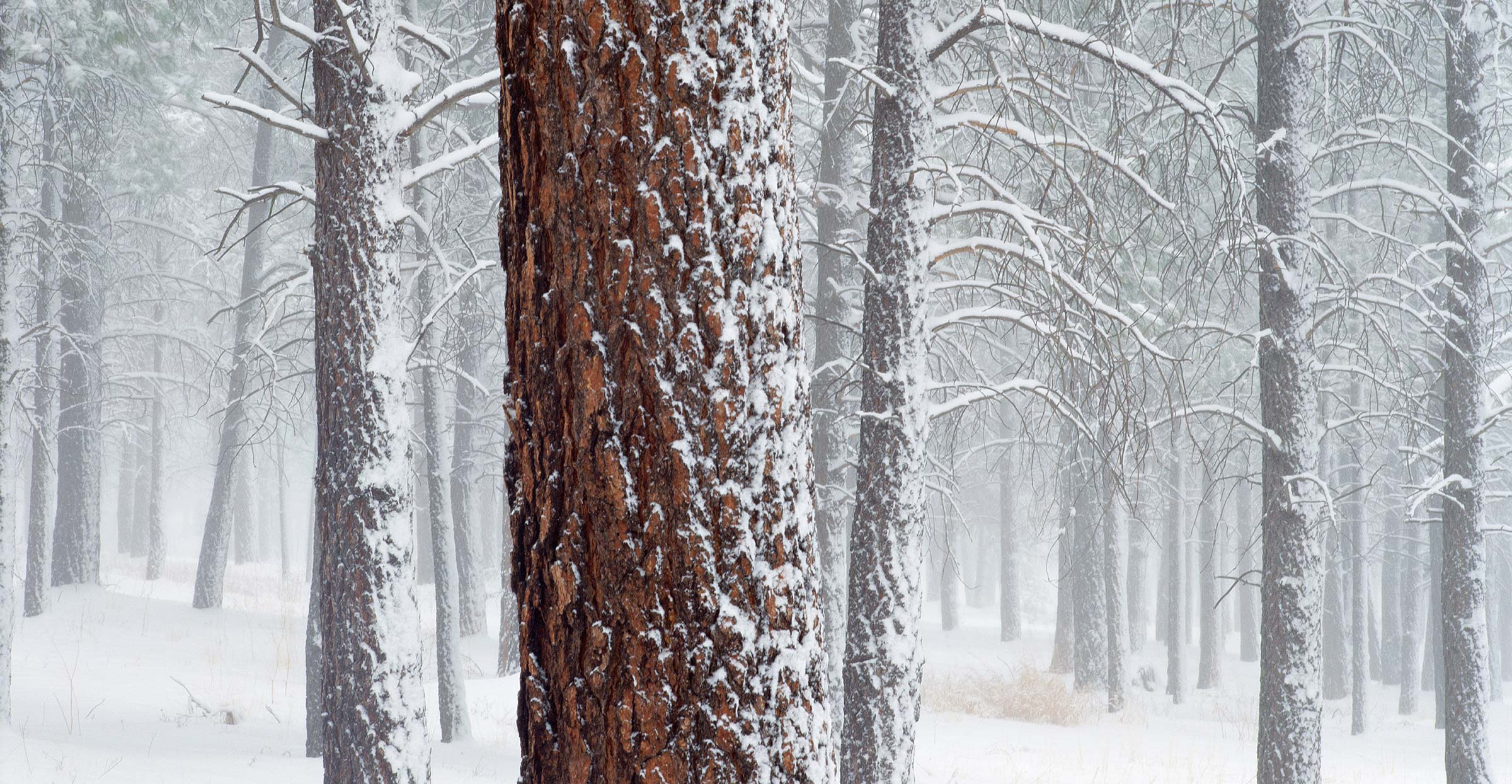 706 Ponderosa Pines in Snow, Flagstaff, Arizona