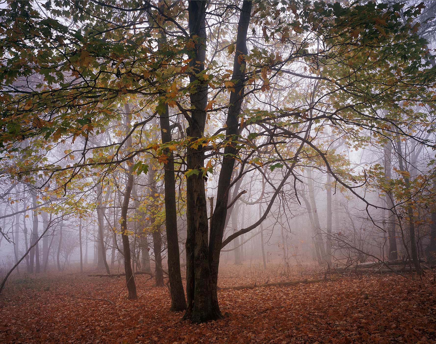 905 Maples in Fog, Shenandoah National Park, Virginia