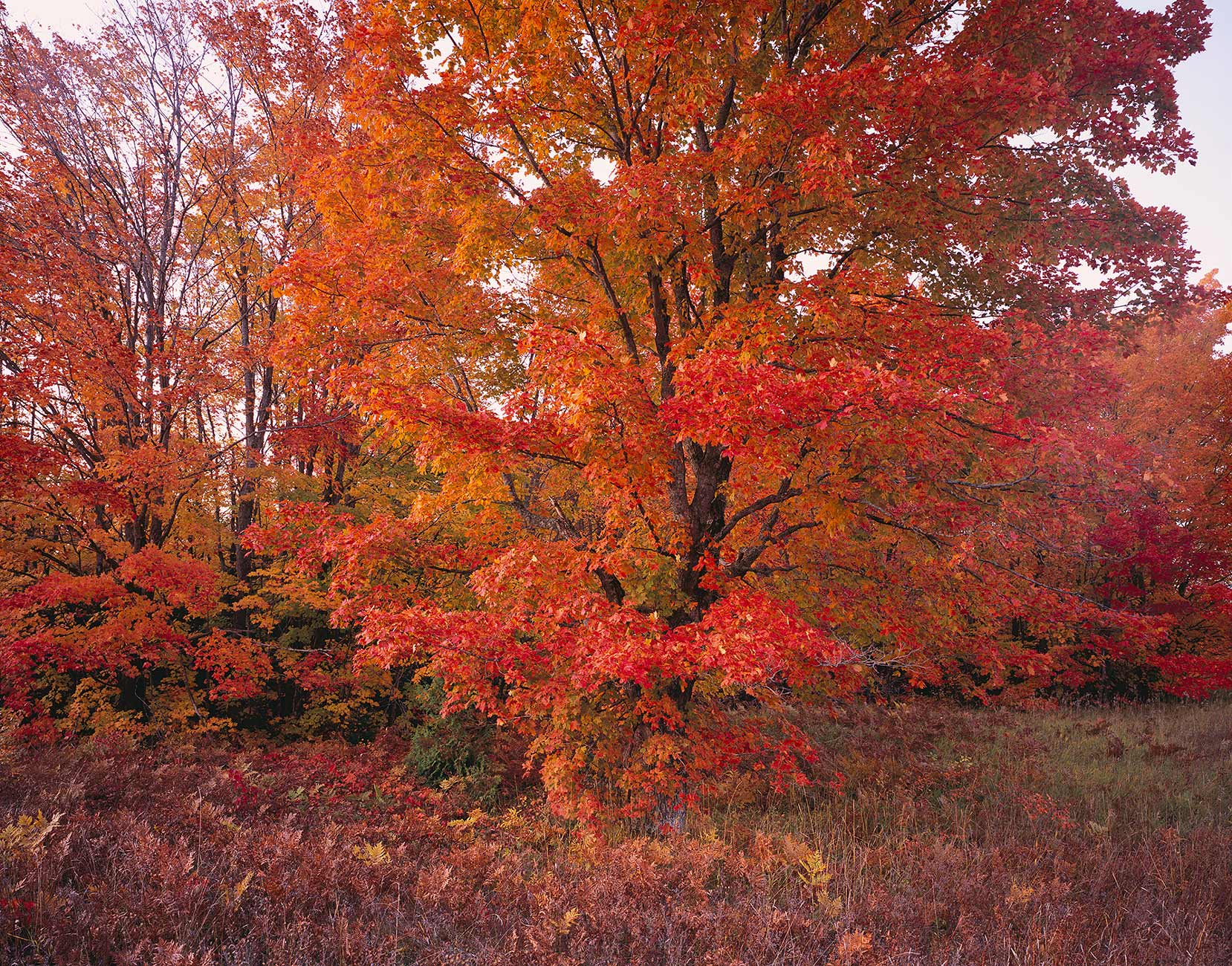 916 Scarlet Maple, Hiawatha National Forest, Michigan