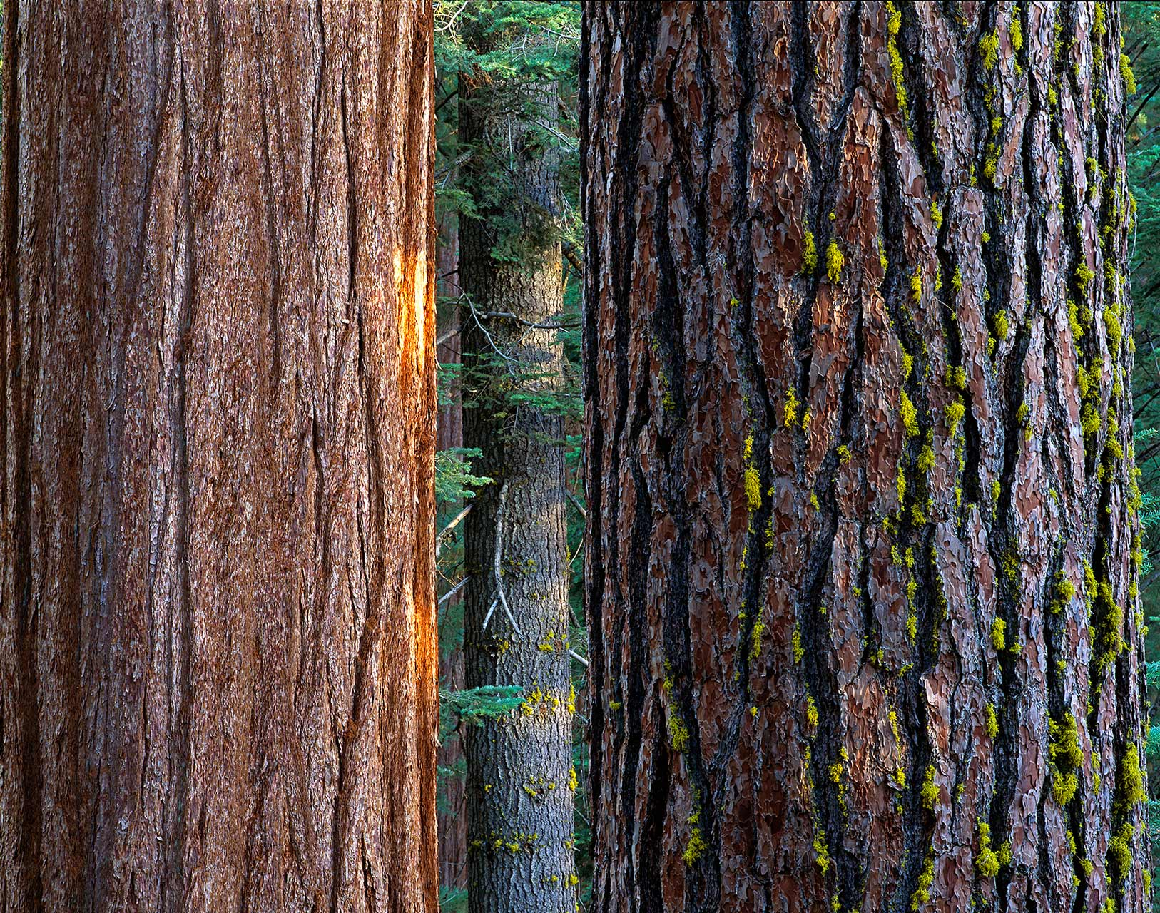 Sequoia & Fir, Sequoia National Park, California